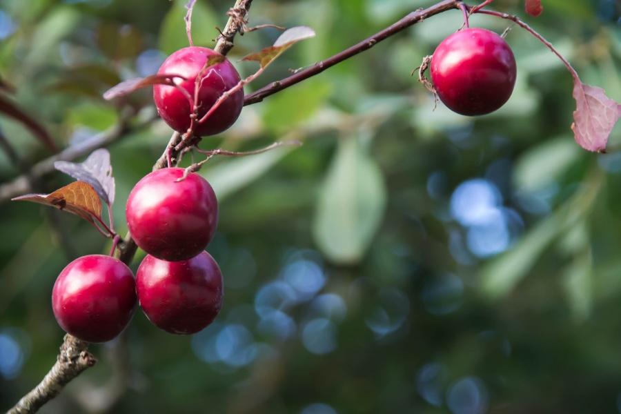 photo mirabelle arbre